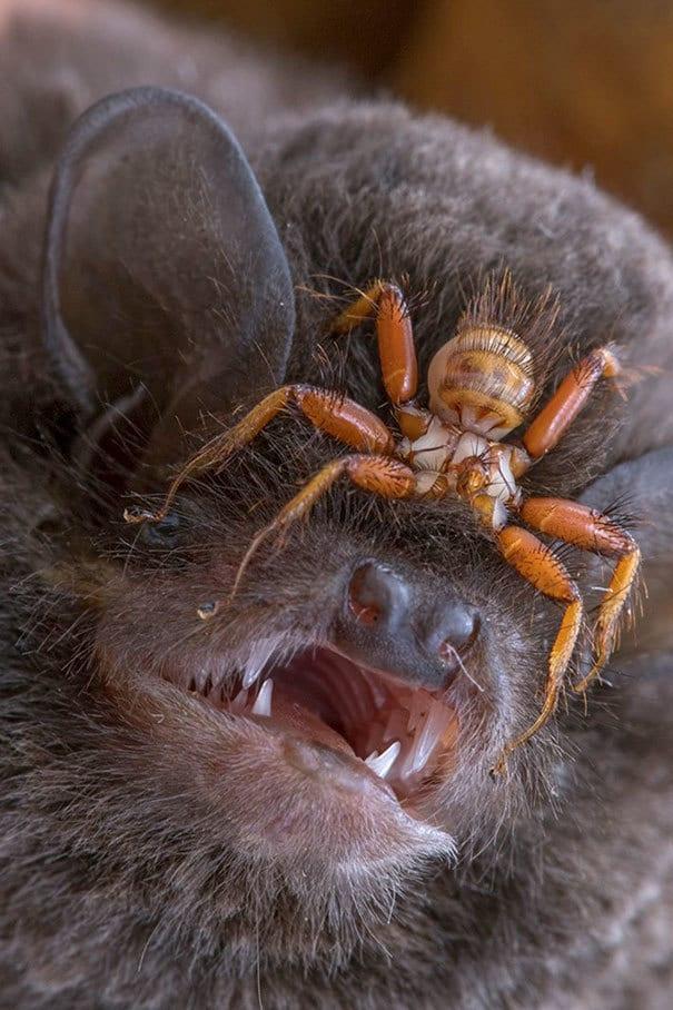 Wingless Fly Penicillidia, который прикрепляется к головам летучих мышей и никогда не покидает его тело