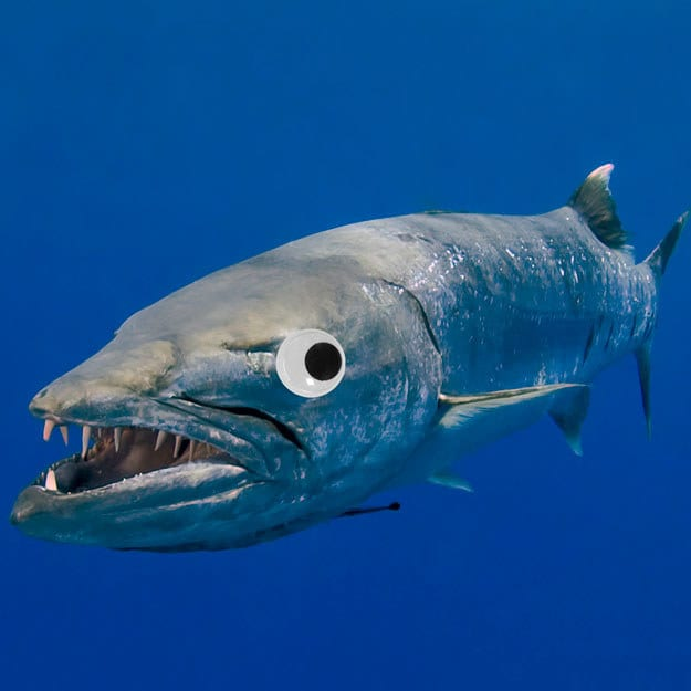 This normally frightening barracuda is a TOTAL goofball with googly eyes.