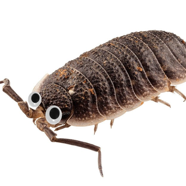 This woodlouse would normally make me want to vomit, but with googly eyes it