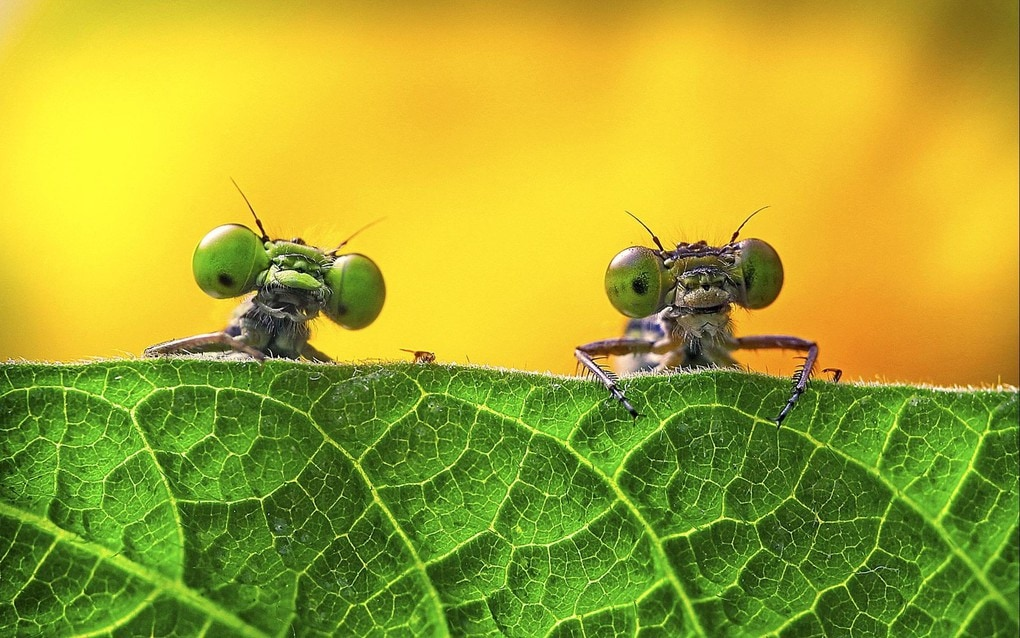 Two damselflies on a leaf in Zejiang province, China. One of the shortlisted images in the Royal Society of Biology