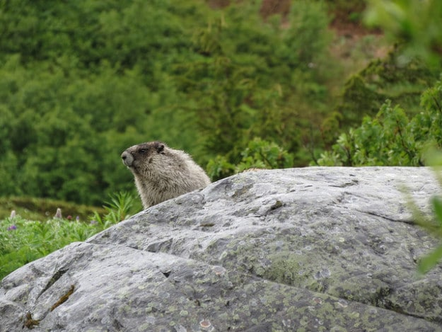 Marmots at Glacier National Park, Washington