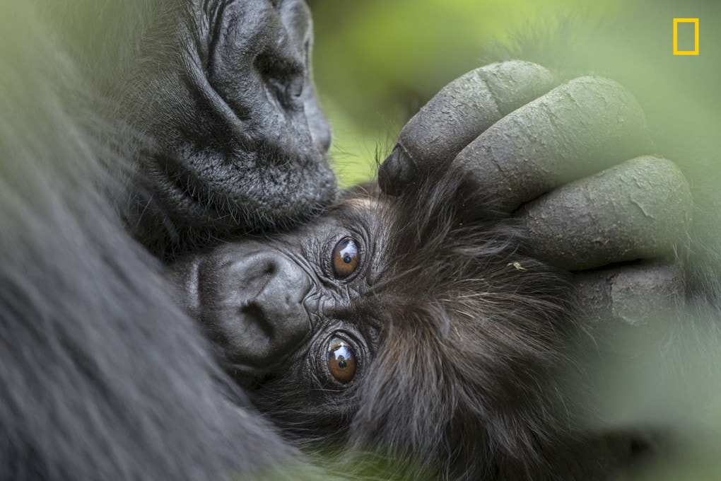 A mountain gorilla cuddles her 3-month-old infant. One of National Geographic