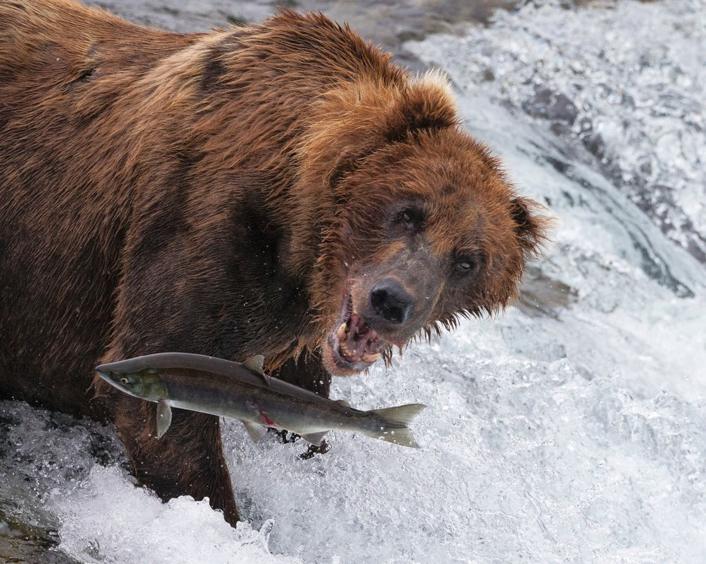 "A brown bear lunges at a salmon in Alaska. This was the winner of the ""dynamic ecosystems"" category of the the British Ecological Society"