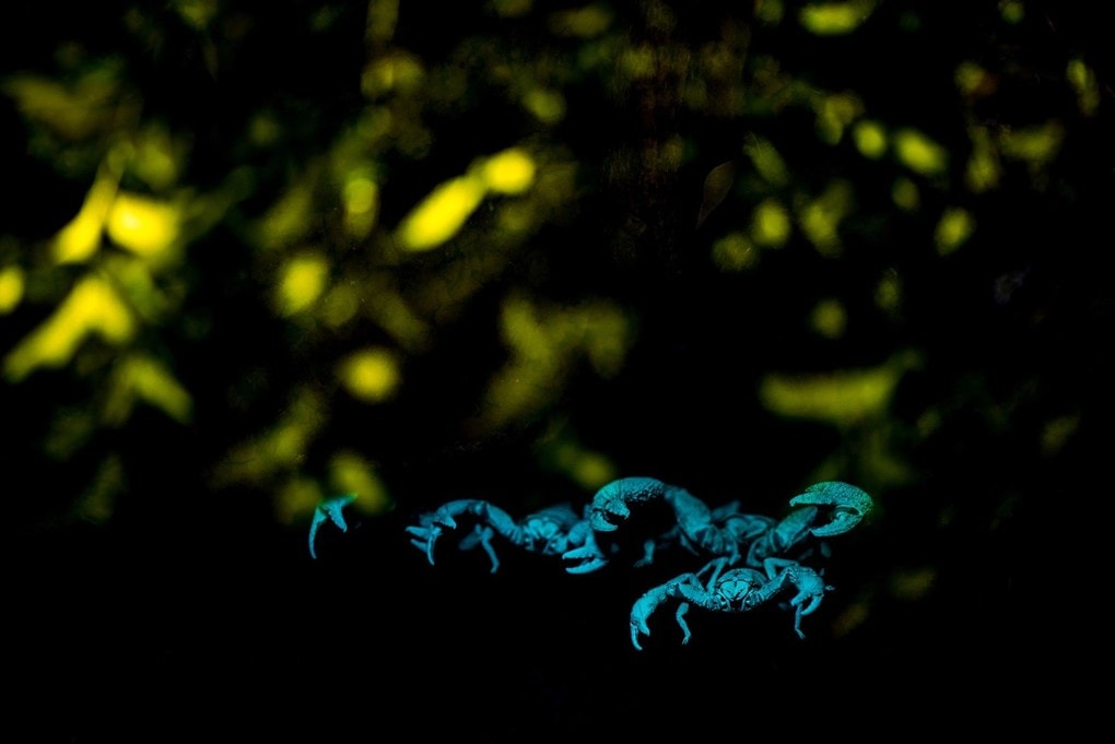 Giant forest scorpions seen under an ultraviolet light. One of the featured images from the Royal Photographic Society