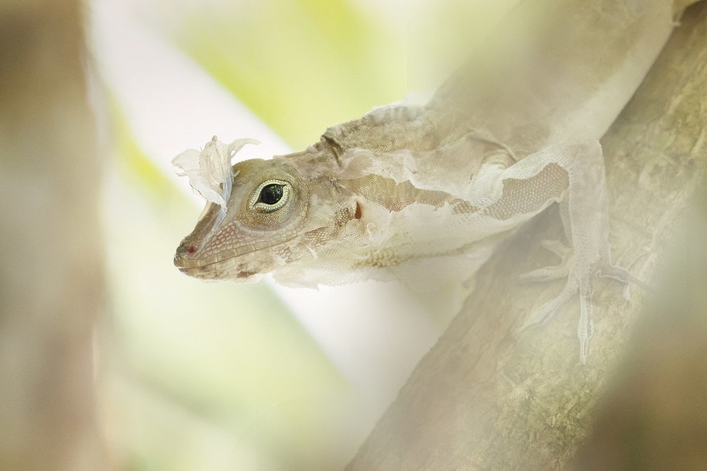 "White silk: an Anolis lizard changing its skin. This was the winner of the ""up close and personal"" category of the the British Ecological Society"