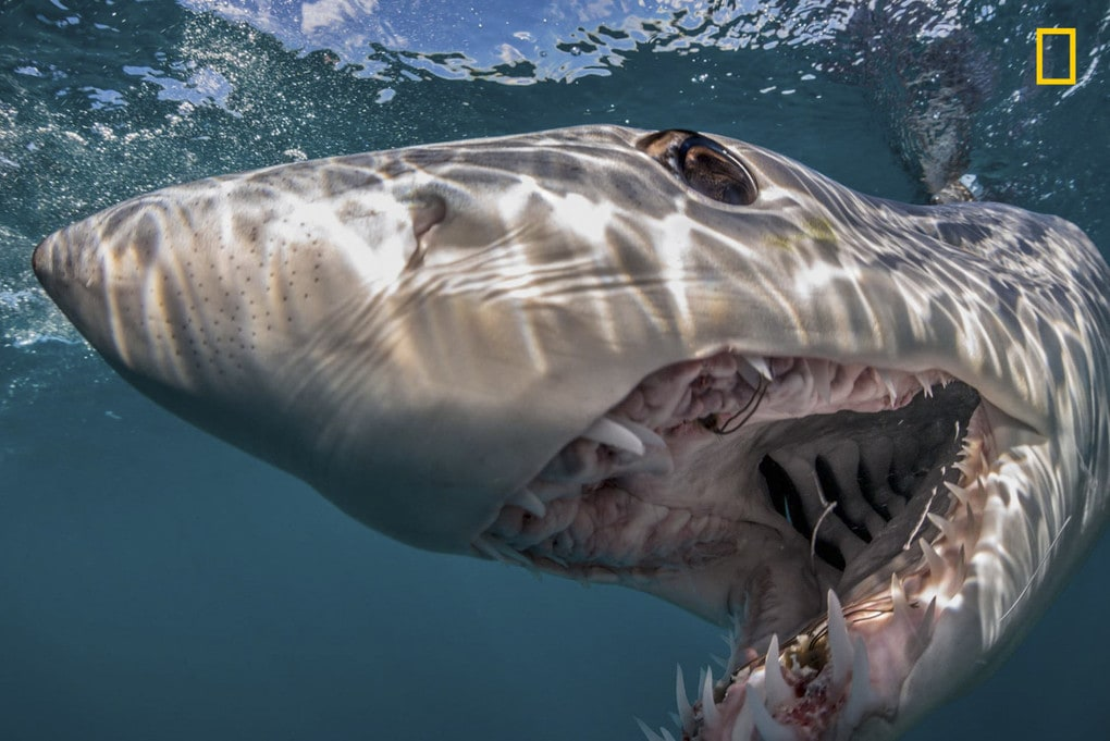 A shortfin mako shark makes its presence known to the camera in waters off New Zealand. One of National Geographic