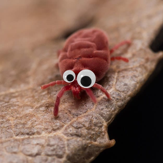 This icky, fluffy red velvet mite for SURE is better with googly eyes.