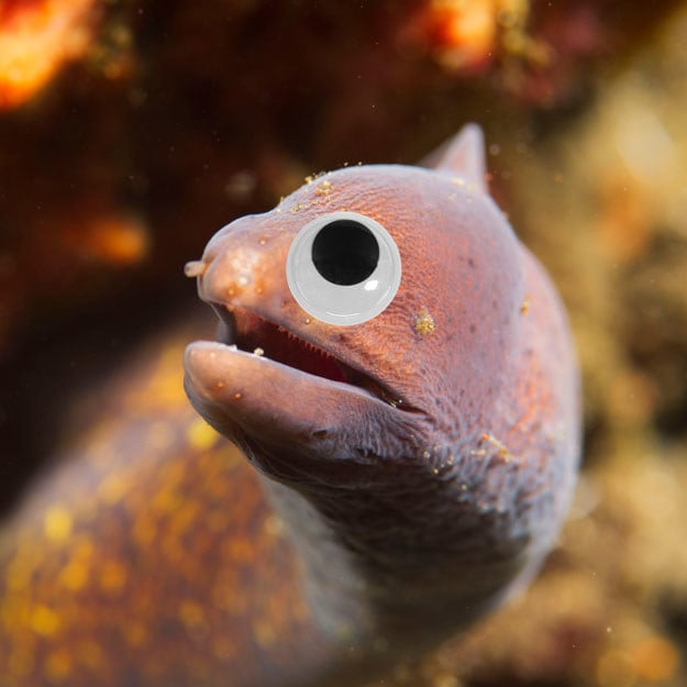 This greyface moray eel is practically a Disney character in these googly eyes.