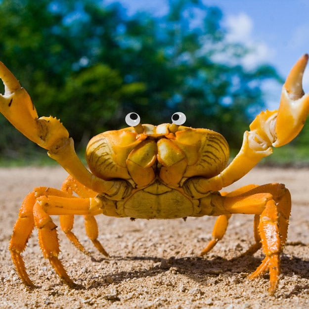 This yellow land crab? Yup. Better with googly eyes.