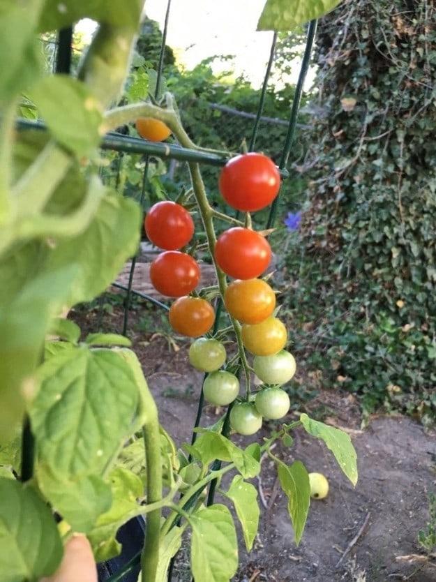 This tomato rainbow: