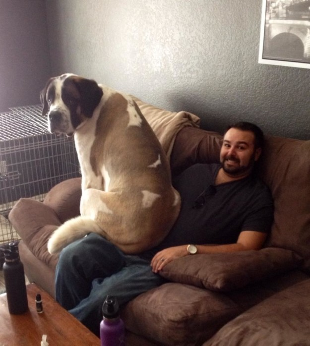 Their dedication to pretending to be lap-dogs can be a little impractical, at times.