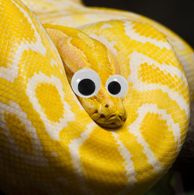 And finally, this golden Thai python is absolutely, 100%, undoubtedly huggable with googly eyes on.