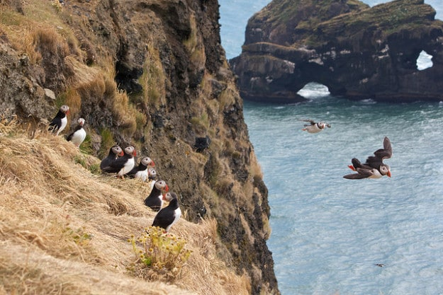 Puffins on the Dyrholaey Peninsula, Iceland