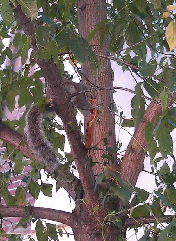 Мой друг Texted Я говорю, что она наблюдала, как белка пила пицца в дереве. Я сказал: «Фотографии или это не случилось». Она ответила на это