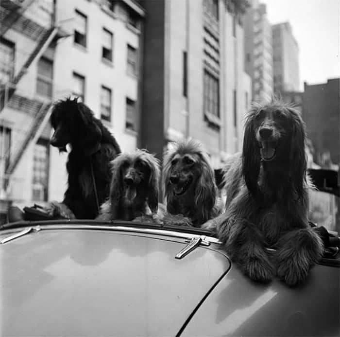 Собаки в кабриолете, 1949