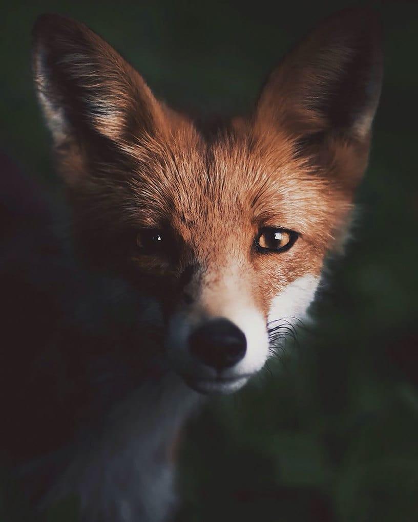 дикого животного-Photography-Konsta-punkka-10