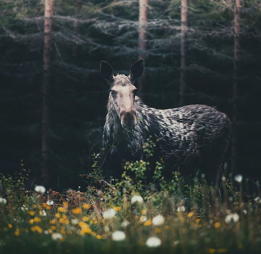 дикого животного-Photography-Konsta-punkka-12