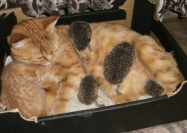 Как кошка Соня усыновила четырех осиротевших ежат