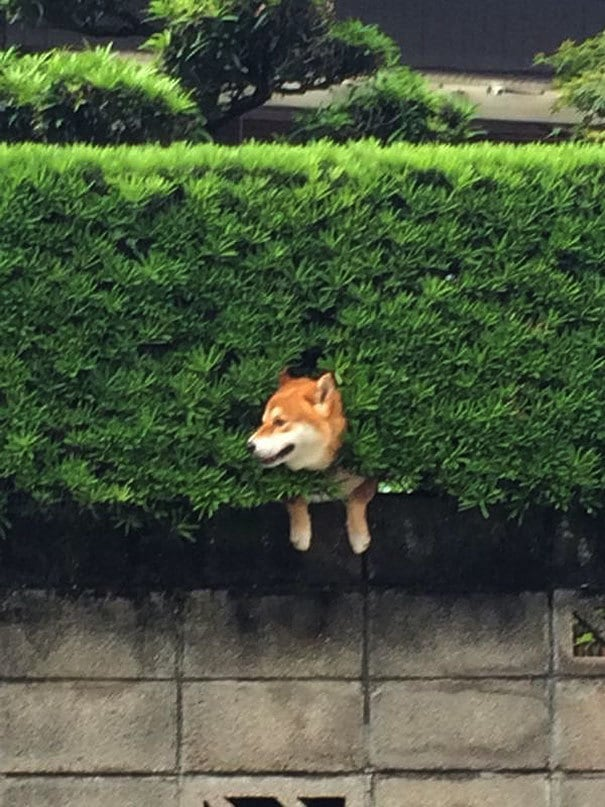 shiba-inu-stuck-in-bush-japan-1