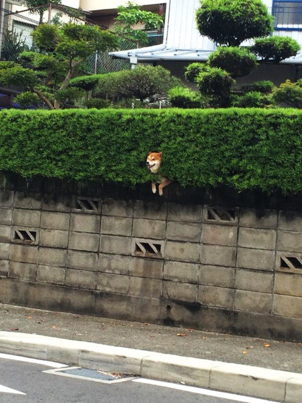shiba-inu-stuck-in-bush-japan-3