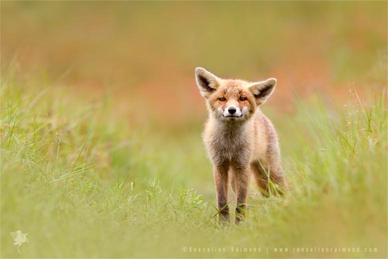 fox_kit_grass1