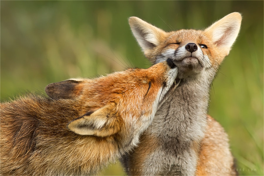grooming_foxes