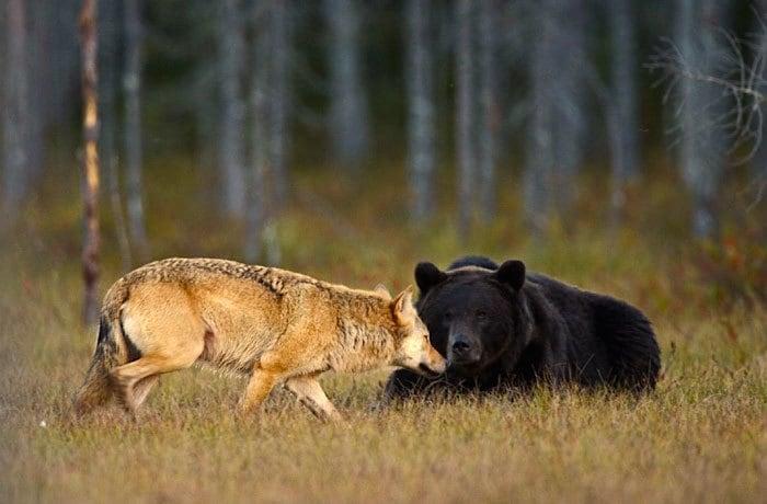 rare-animal-friendship-gray-wolf-brown-bear-lassi-rautiainen-finland-11