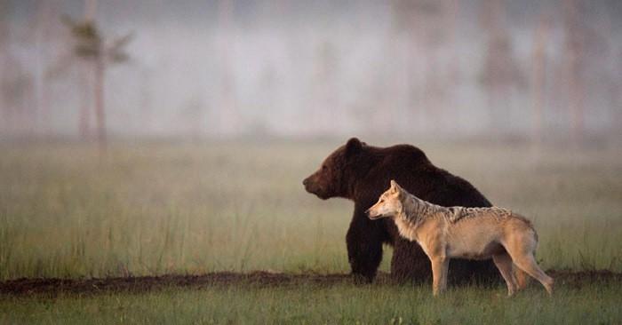 Необычная дружба волчицы и медведя, заснятая финским фотографом