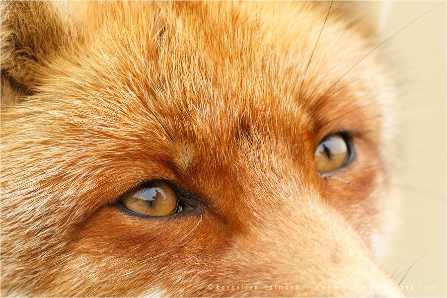 red_fox_eyes