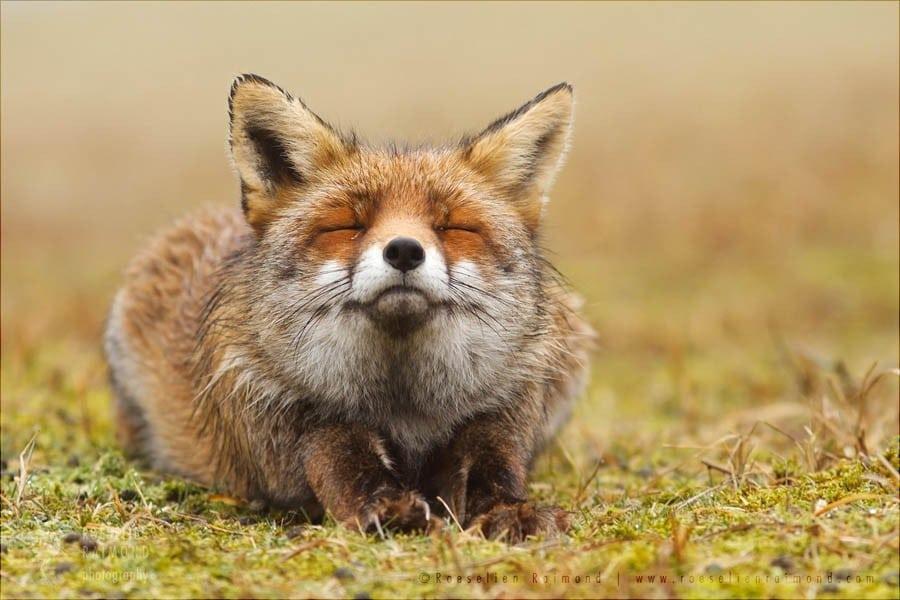 smiling_fox1-900x600