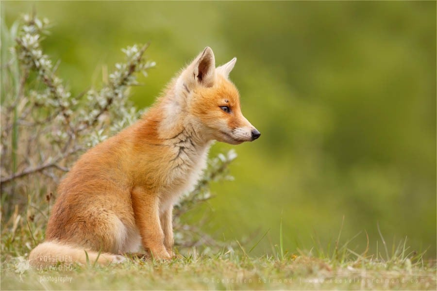 young_fox1-900x600