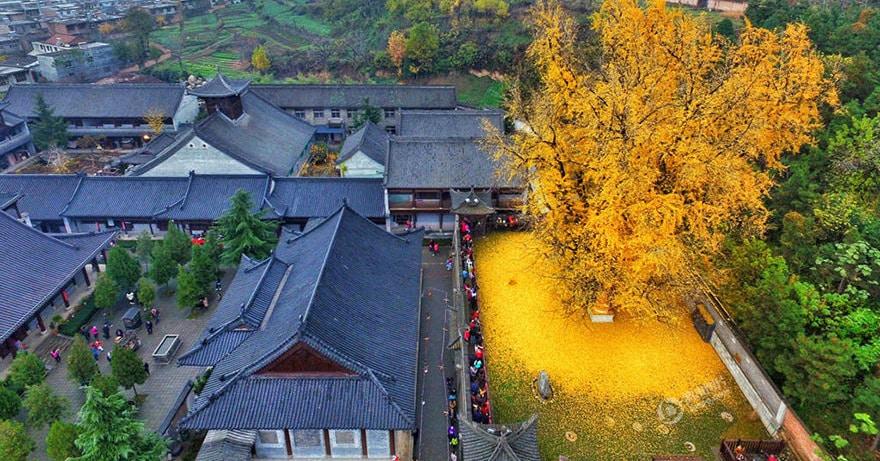 1400-летнее дерево гинкго усыпало золотистой листвой двор буддийского храма