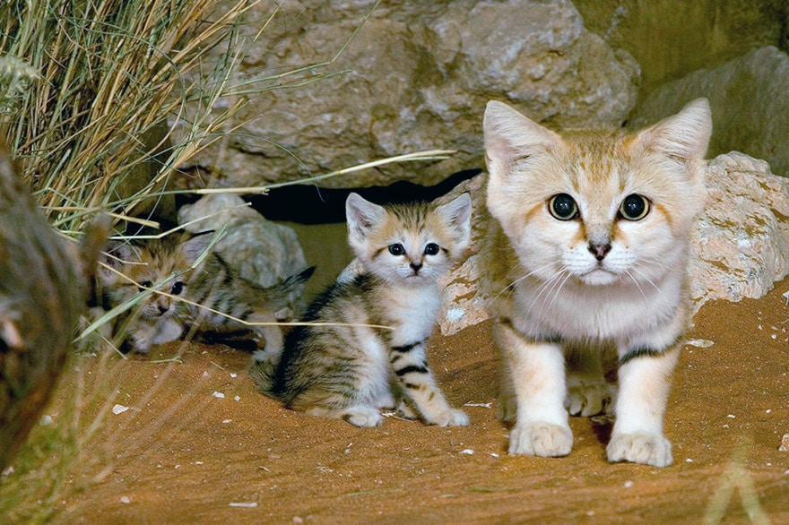 Arabian Sand cat (Felis margarita harrisoni)