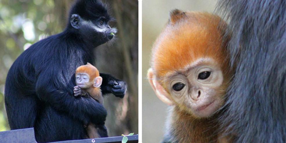 Редкая оранжевая обезьянка родилась в австралийском зоопарке в преддверии года Огненной Обезьяны