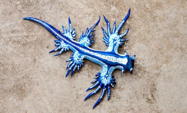 «Голубой дракон» — необычное создание обнаружено у берегов Австралии