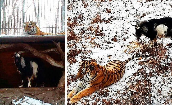 Вместо того, чтобы стать добычей, козел выгнал тигра из своего логова