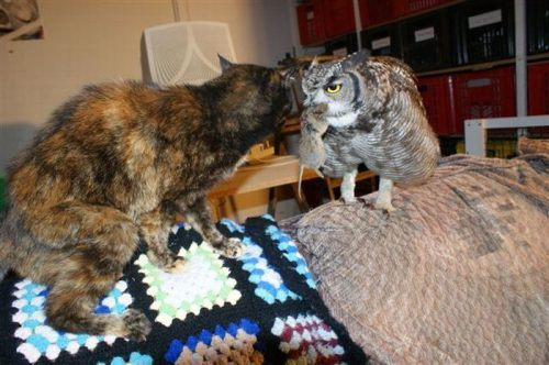 owl saved cat friends 1 Owl gets saved and spends everyday repaying its rescuer (21 Photos)