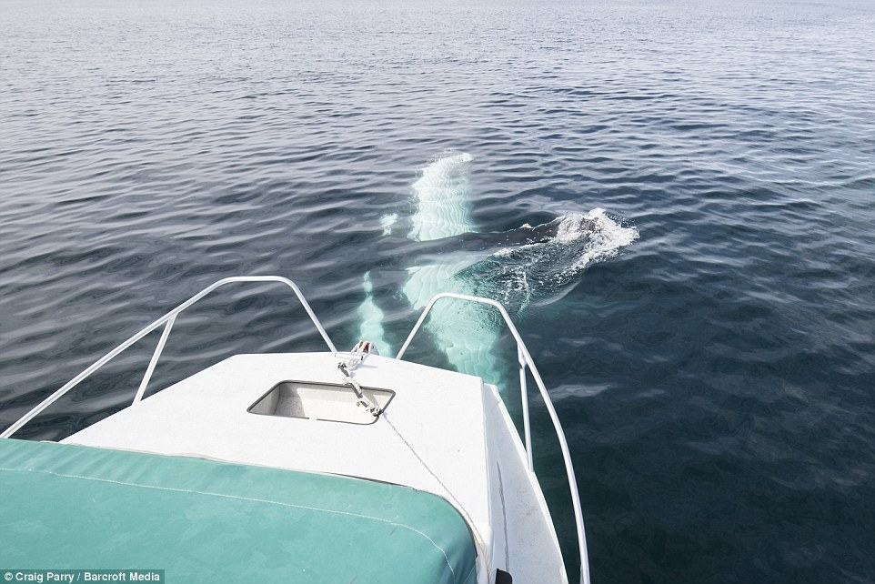 Another photo shows one of the creatures splashing next to the boat in the ocean off Byron Bay, NSW, in September 2015