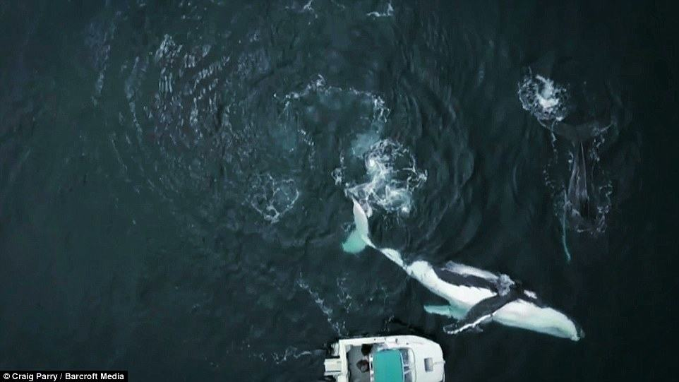 Aerial shots captured using a drone show the whales are more than double the size of the boat