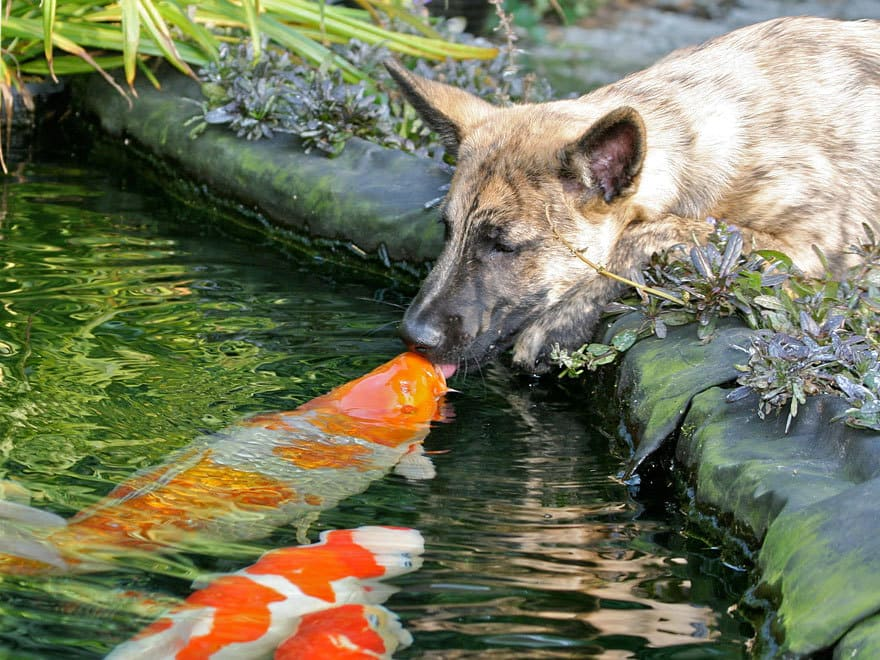 Kissing A Koi