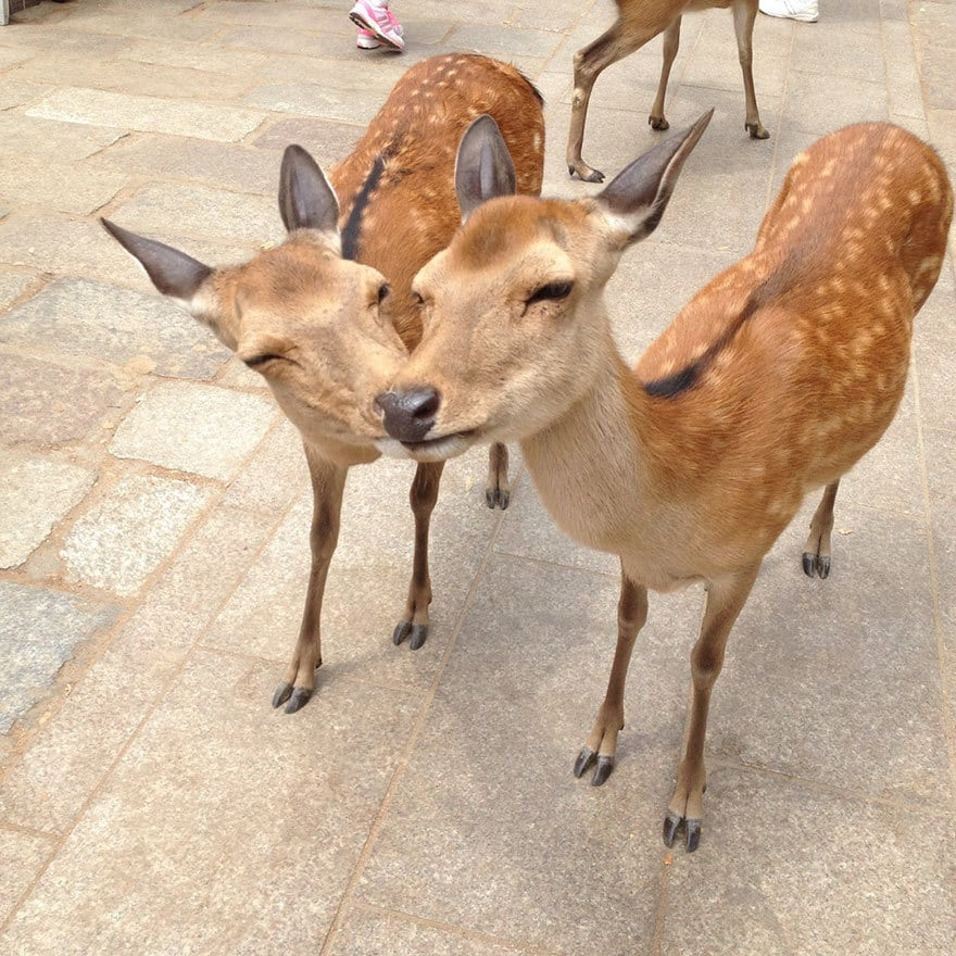 Deers Kissing