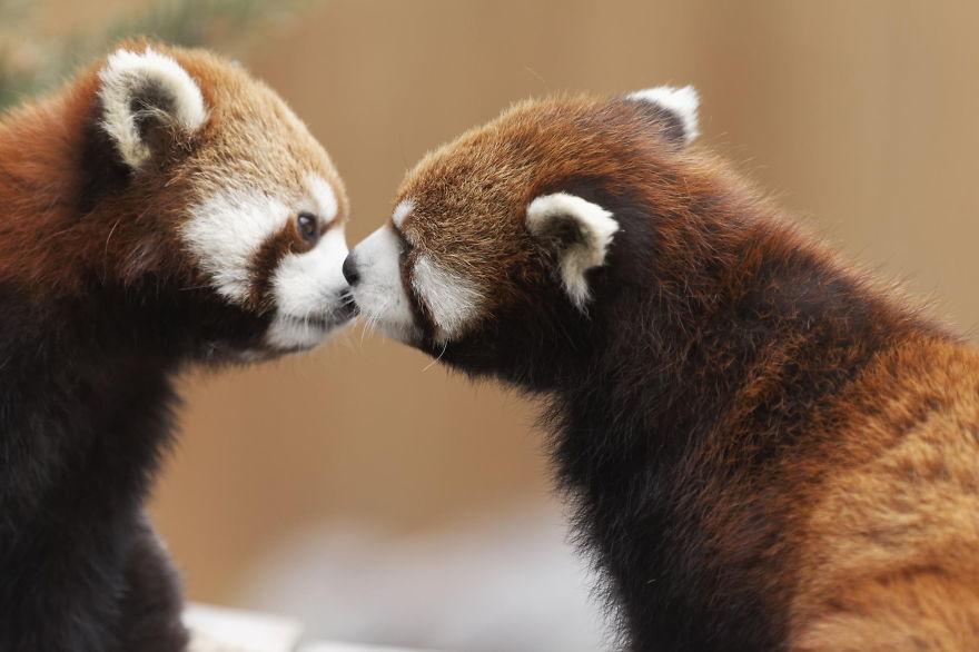Red Pandas Kiss