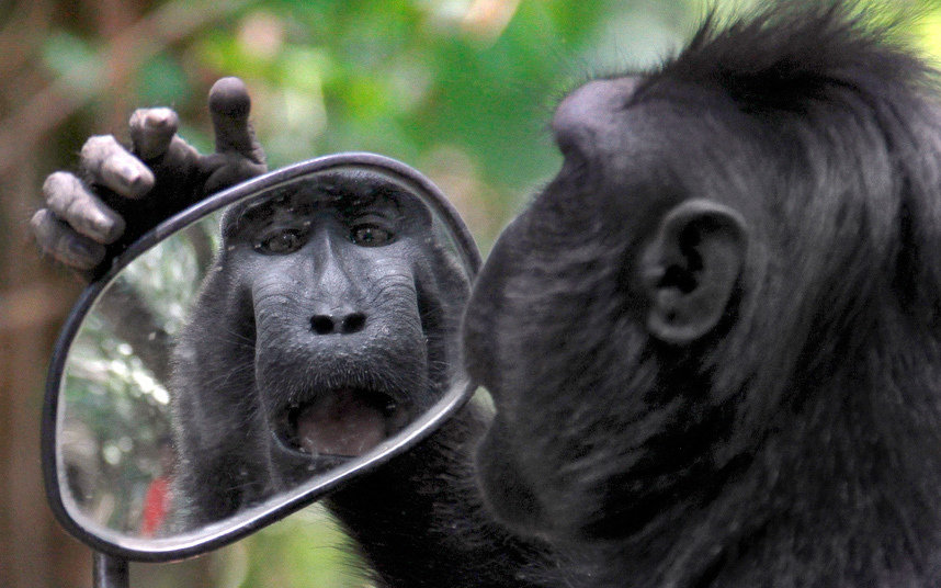 A rather vain Sulawesi crested black macaque checks his hair in a motorcycle's wing mirror in the Tangkoko Nature Reserve on the island's northern coast