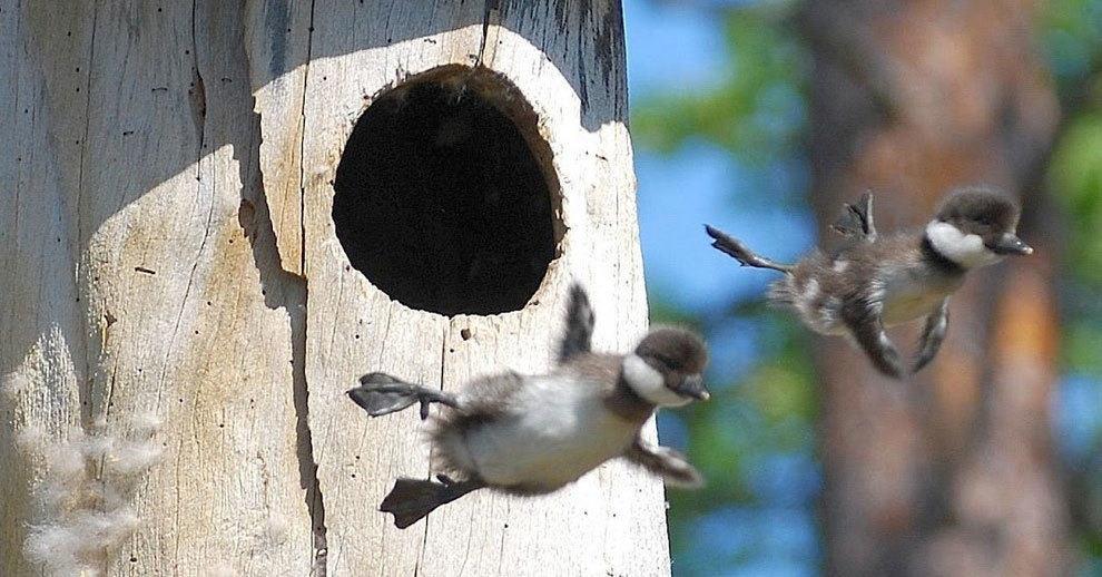 Первый полет: утята впервые покидают родное гнездо