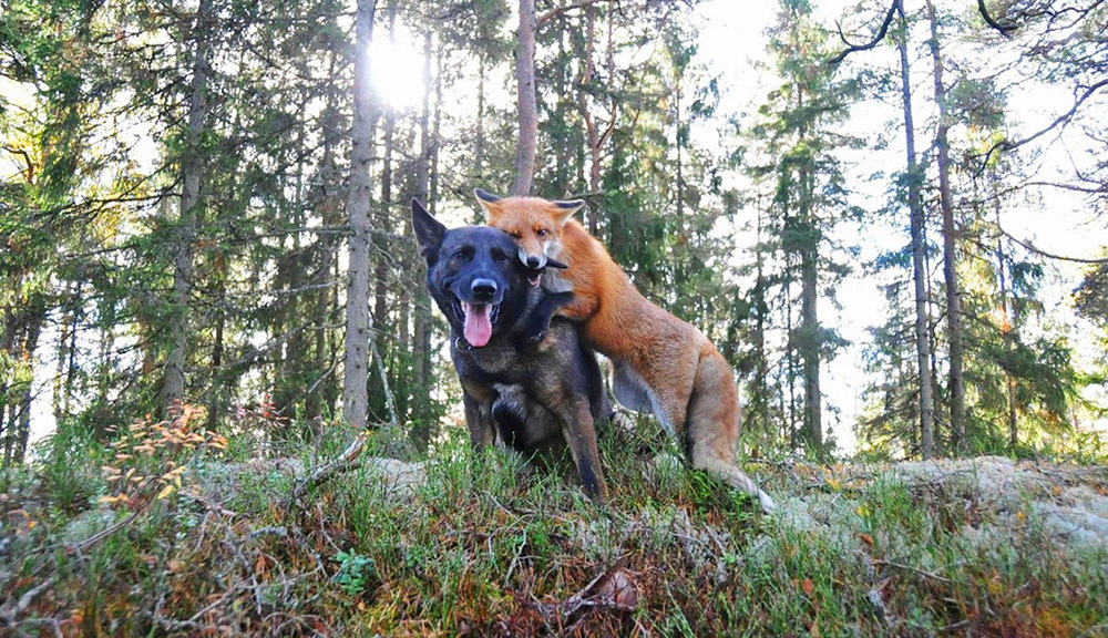 Удивительная дружба лисы и собаки. История, по которой можно снимать кино.