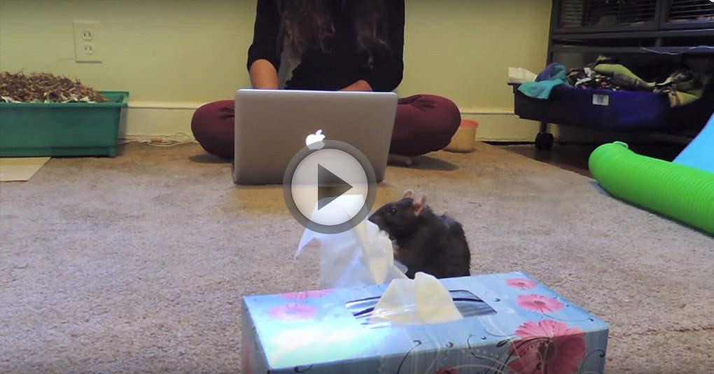 Эта крыса спешит принести салфетку своей хозяйке, когда слышит, как она чихает