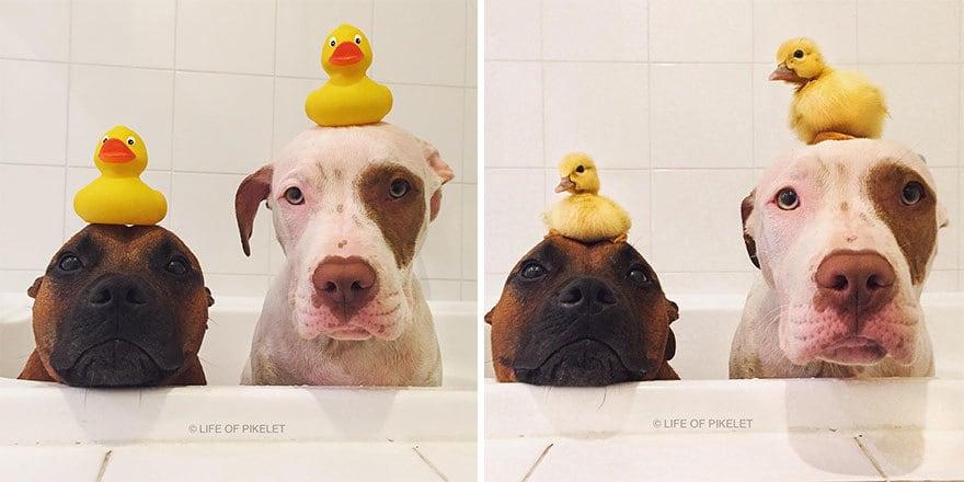 Необычная дружба двух щенков и двух утят