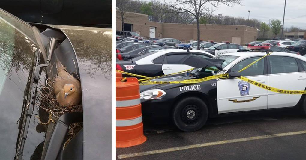 Что будет, если свить гнездо на полицейской машине