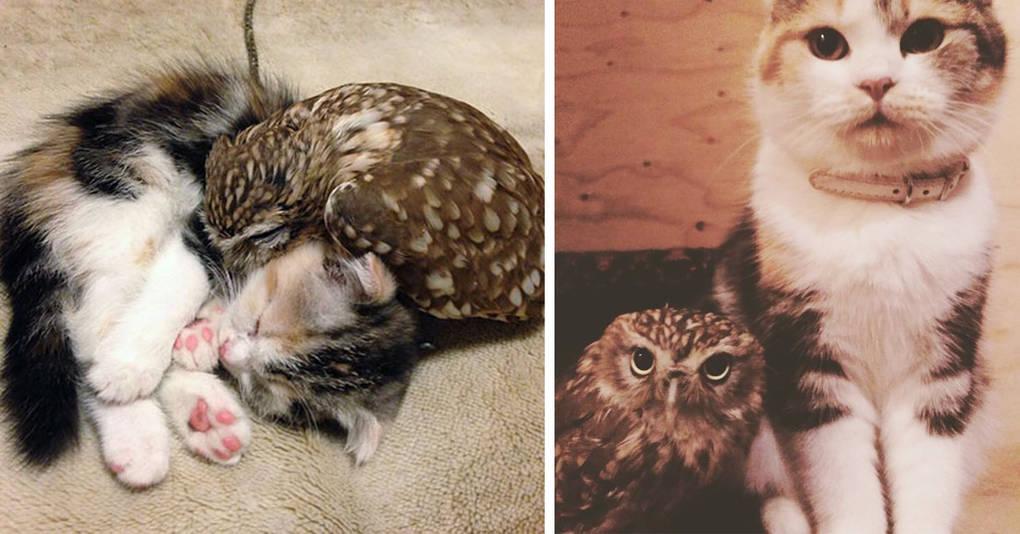 Совенок вырос в обществе кота и они стали неразлучными друзьями