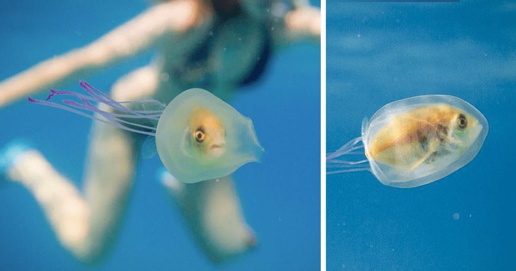 Эта рыбка застряла в медузе и продолжала плыть по своим делам